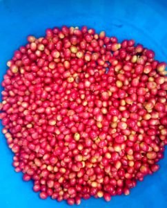 The best Red cherry which we recommend farmers to harvest for the best coffee cup.